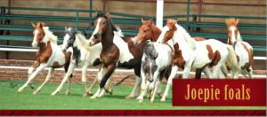 Joepie Foals